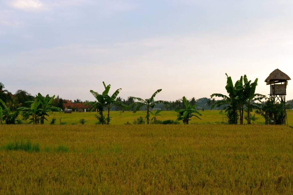 rizieres de Bali